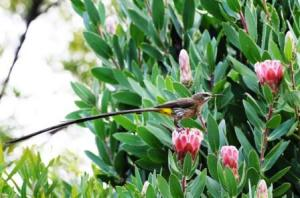 aves-western-cape-birding-day-tours