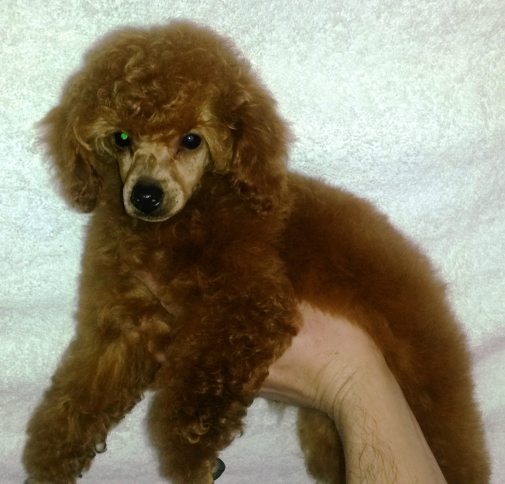 Andandre Breeders Of Red Toy Poodle Puppies In South Africa Poodles