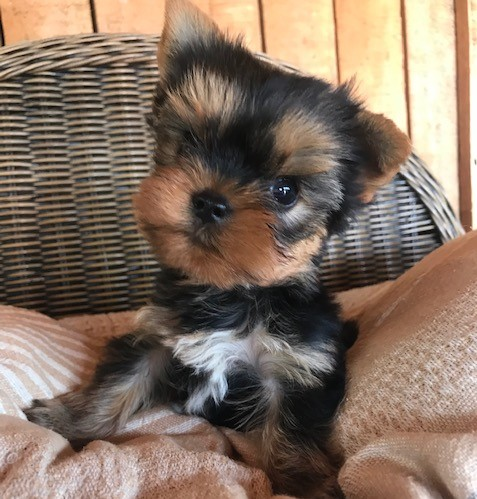 yorkie-puppies-available!